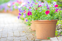 Colorful Small Pretty Beautiful Flower Bush In Pot And Green Leaf Background Or Backdrop.