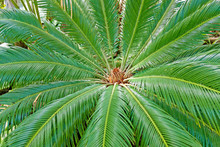 Closeup View Of Flower Of Female Sago Palm Cycas Revoluta , Also Known As King Sago Palm.