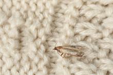 Common Clothes Moth (Tineola B...