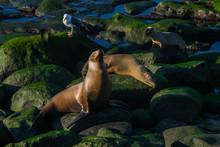 Reunion Of Seals In La Jolla