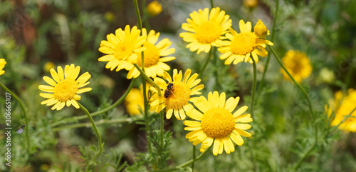 Cota tinctoria or golden marguerite producing daisy-like yellow flowers in summe Canvas-taulu