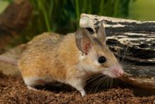 Closeup Of Spiny Mouse (Acomys...