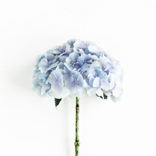 Blue Hydrangea Flower On The White Background. Flat Lay, Top View