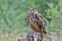 Portrait Of A Eagle Owl In The...