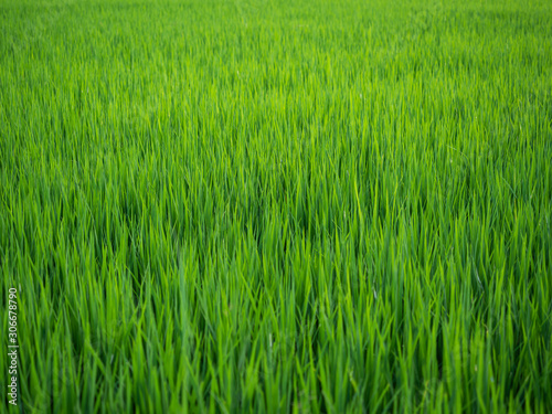 Foto auf AluDibond Grun background of green rice field