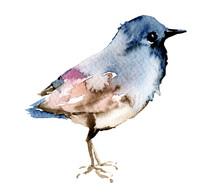 Bird Watercolor Painting. Wildlife Illustration Isolated On White Background.