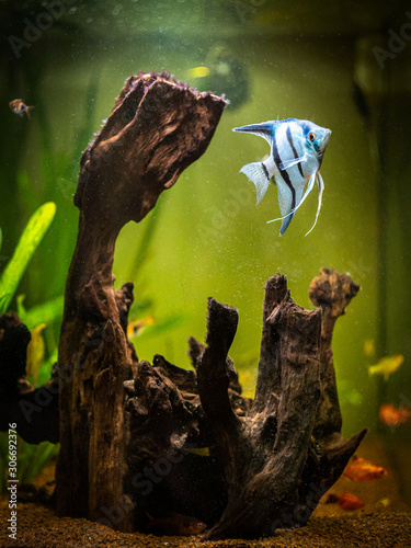 Angelfish in a comunitary tropical aquarium (Pterophyllum scalare) Canvas Print