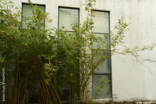 Tela  bamboos planted and growing in front of the wall with glasses