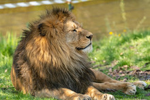 Lion Male Resting In Zoo