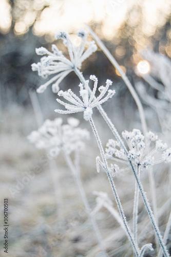 Fototapety, obrazy: white flowers in snow