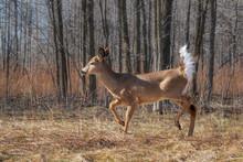 White-tailed Deer Walking In F...