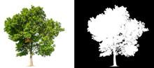 Isolated Tree On Transperret P...
