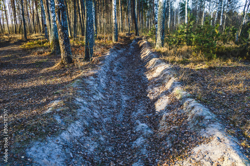 Fotografie, Tablou The forest protection strip runs through a birch pine forest and is designed to stop a fire in the event of a fire