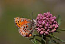 Mediterranean Poppy Butterfly; Tomares Nesimachus