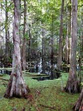 Eine Gruppe Von Sumpfzypressen Mit Gut Sichtbaren Atemknie (Pneumatophoren) In Der Sumpflandschaft Der Everglades In Florida (USA)