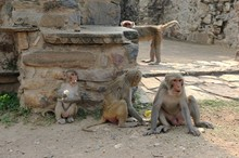 Family Group Of Macaque Collecting Seeds