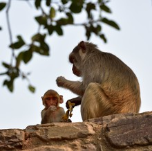 Baby Macaque Under Mum's Supervision