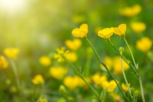 Yellow Flowers Of Buttercup Mo...