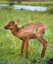 Baby Deer Fawn Pronghorn Elk I...