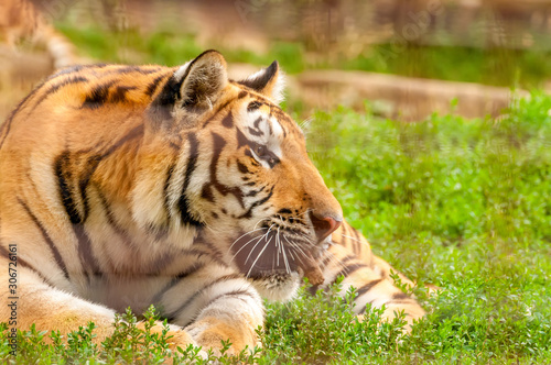 Portrait of an amur tiger in a zoo Canvas Print