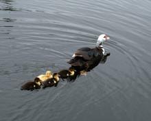 Female Muscovy Duck Is Swimmin...