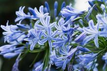 Beautiful Natural Background Blue Flowers Agapanthus Umbrella Close Up