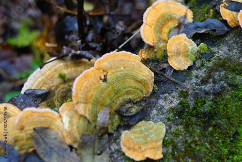 Foto auf Leinwand Darknightsky Polyporaceae Fomes fomentarius