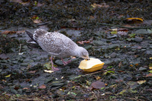A Seagull Eating A Polystyrene Takeaway Box In Aberystwyth Harbour At Low Tide
