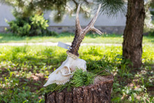 Deer Skull With Antler On The Tree Trunk