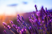 Lavender Flowers At Sunset In ...