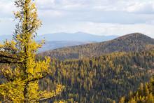Western Larch (tamarack) Trees...