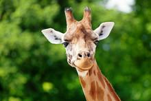 Giraffe Looking Forward B