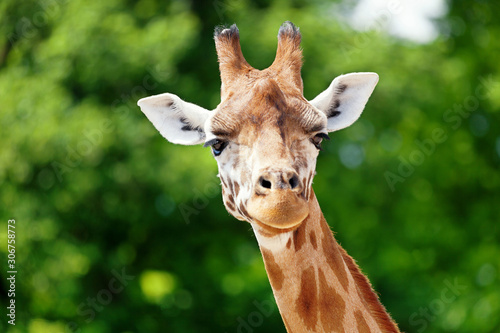 Photo Giraffe looking forward b