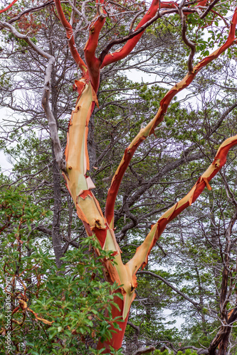 Photo Abstract red Arbutus and green tree background