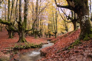 Otzarreta beech in autumn, Biscay, Basque Country