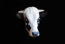 Portrait Of A Black Bull With ...