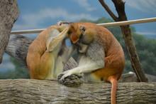 Patas Monkeys Grooming Each Other