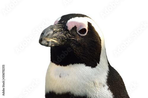 ケープペンギンのアップ Canvas Print