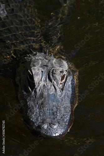 Ameriacan alligator Canvas Print