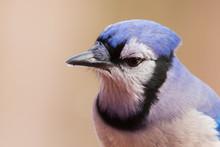 Blue Jay Portrait In Winter