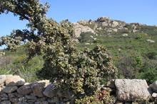 Végétation Corse