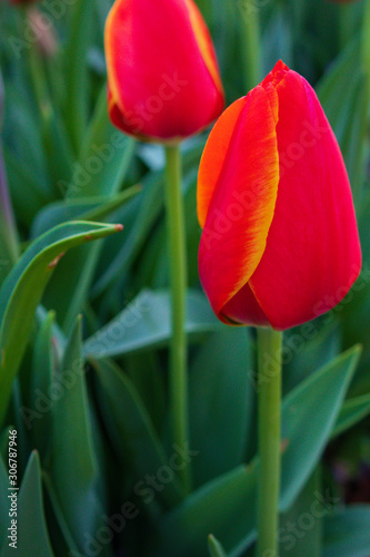 Red with yellow tulip buds, close-up