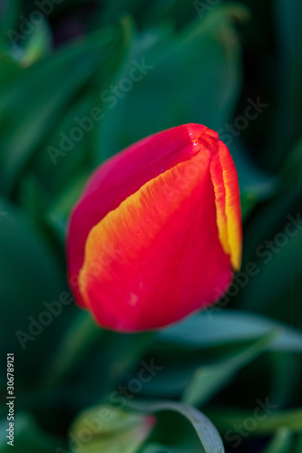 Red with yellow tulip bud, close-up