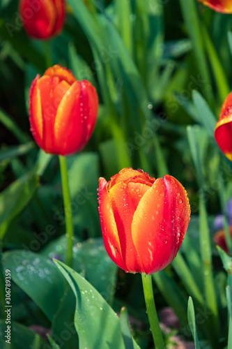 Red with yellow tulips, close-up