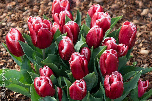 Red with pink tulips
