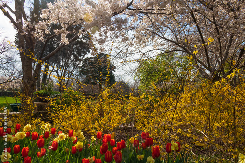 Red and yellow tulips with flowering trees in background