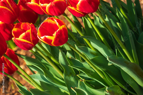 Red and yellow tulips, Close-up