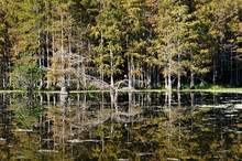 Autumn In The Florida Swamp