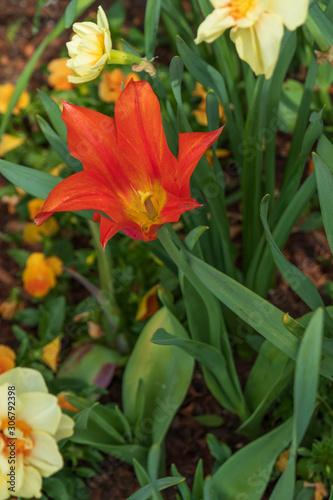 Orange tulip, Close-up