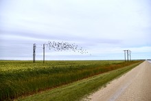 A Flock Of Blackbirds Fly Over A Sunflower Field In Rural Manitoba